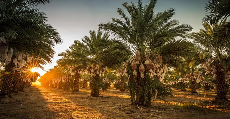 When are dates harvested in Iran