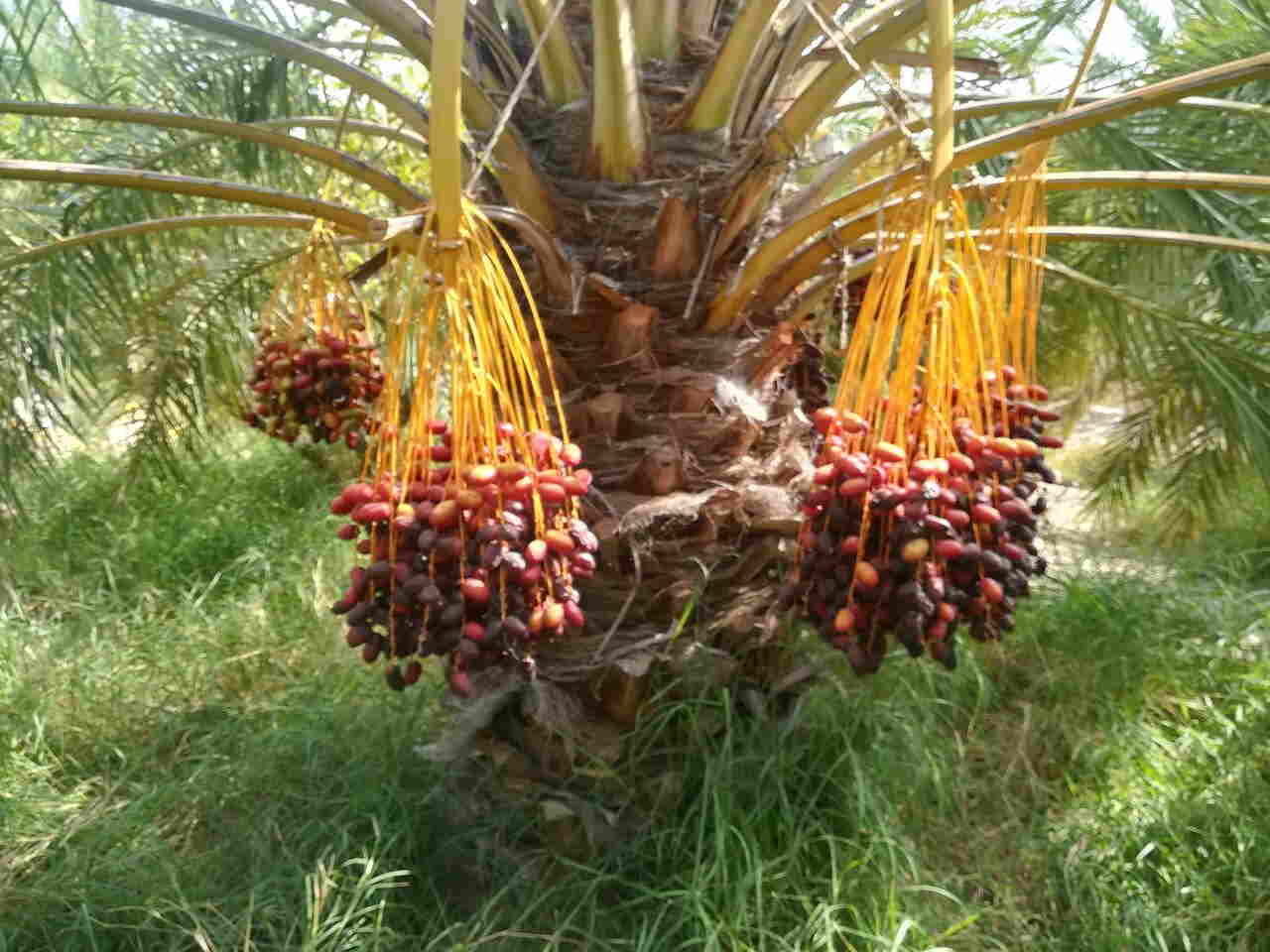 210,000 tons of dates were harvested in Sistan and Baluchestan